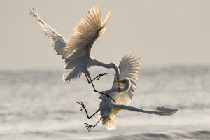 two white cranes fighting in air