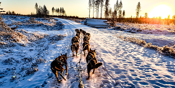 Dogs Leading Sled on Snow Trail